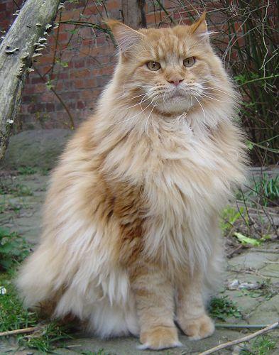 Image of Yankee Cats Garibaldi
